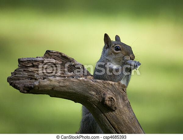 eating squirrel - csp4685393