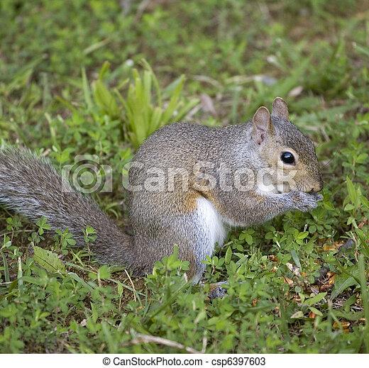 eating squirrel - csp6397603