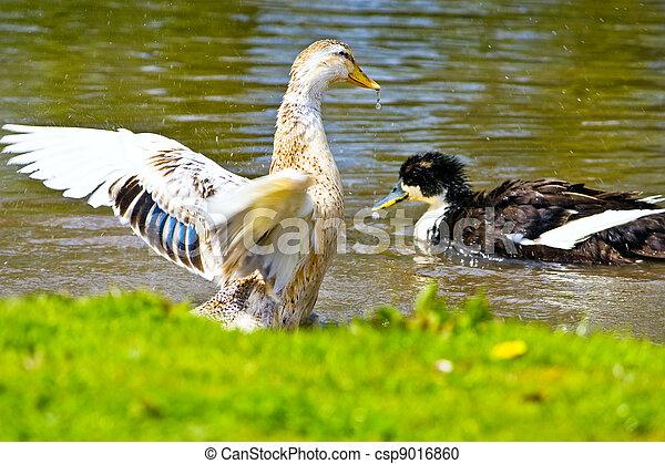 Eau anas mouvement canard sauvage colvert photographie de stock rechercher des images - Comment cuisiner le canard sauvage ...