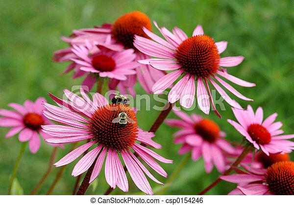 echinacea - csp0154246