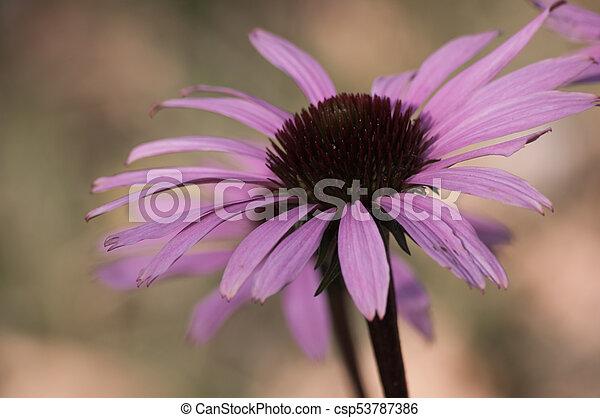 echinacea flower close-up - csp53787386