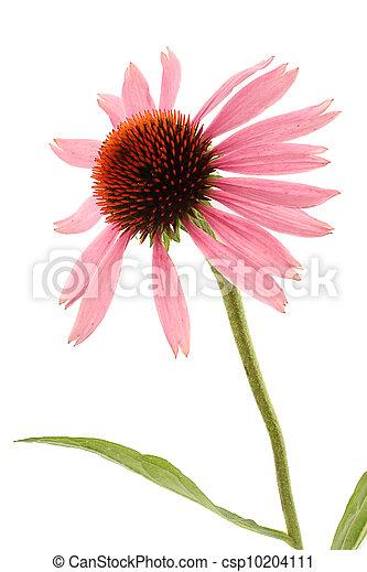 Echinacea - csp10204111