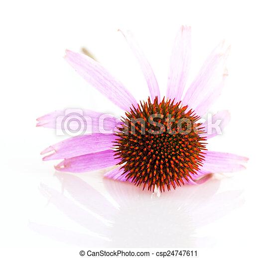 Echinacea - csp24747611