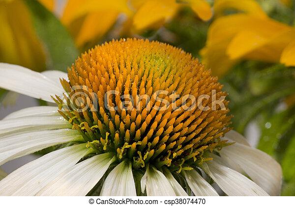 Echinacea - csp38074470