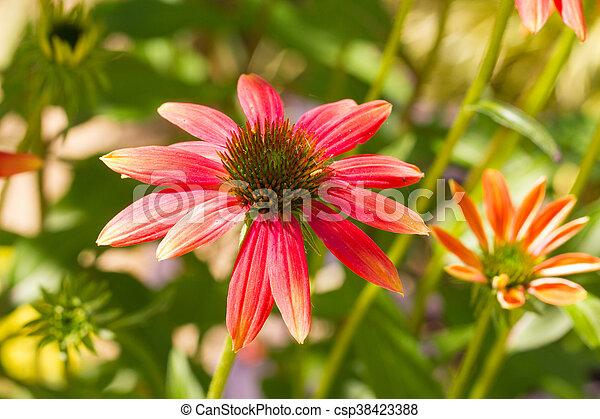 Echinacea - csp38423388