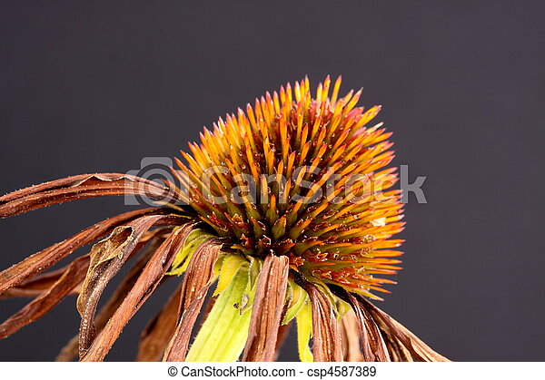 echinacea seed head - csp4587389