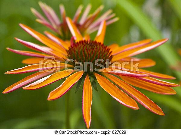 Echinacea - csp21827029