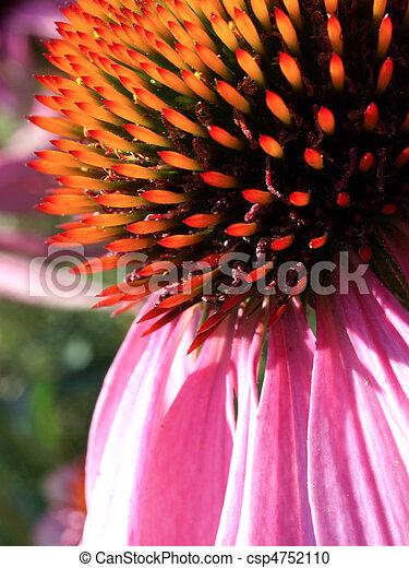 Echinacea - csp4752110