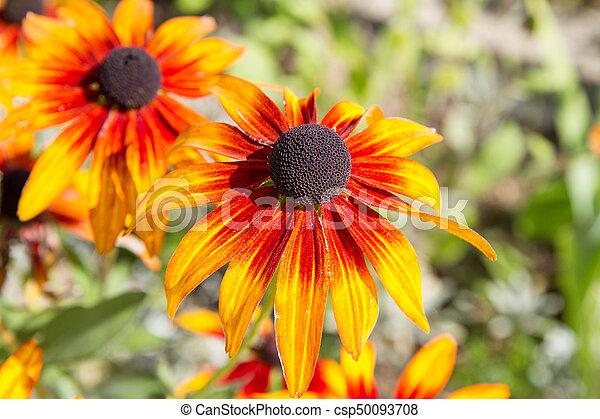Echinacea - csp50093708