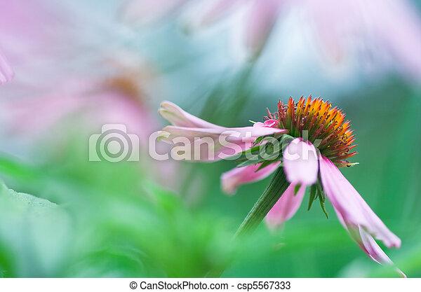 Echinacea - csp5567333