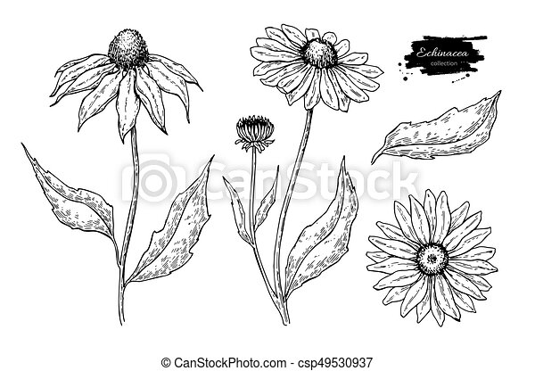 Fleur Illustration echinacea vector drawing. isolated purpurea flower and leaves