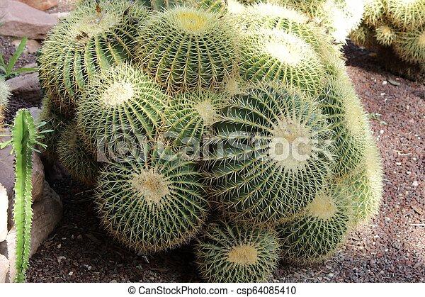 Echinocactus Grusonii in the garden - csp64085410
