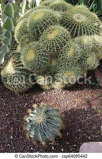 Echinocactus Grusonii in the garden - csp64085442