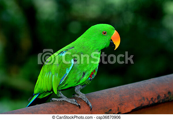 Eclectus parrot Male (green) - csp36870906