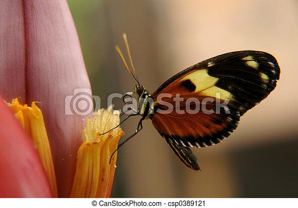 ecuadorian butterfly - csp0389121
