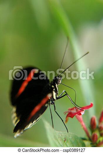 ecuadorian butterfly - csp0389127
