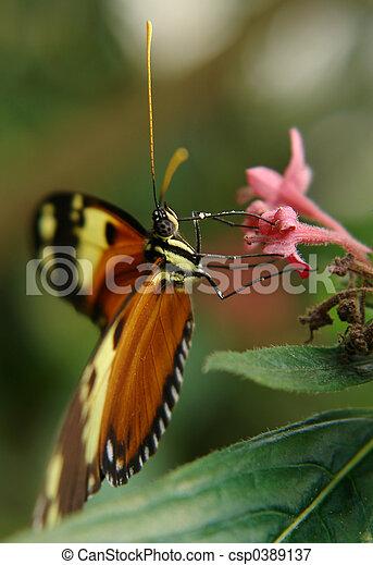 ecuadorian butterfly - csp0389137