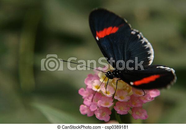 ecuadorian butterfly - csp0389181