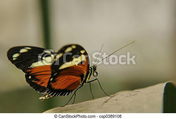 ecuadorian butterfly - csp0389108