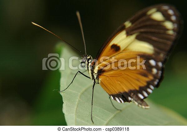ecuadorian butterfly - csp0389118