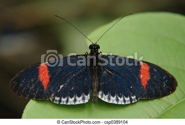 ecuadorian butterfly - csp0389104