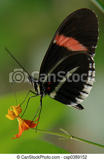 ecuadorian butterfly - csp0389152