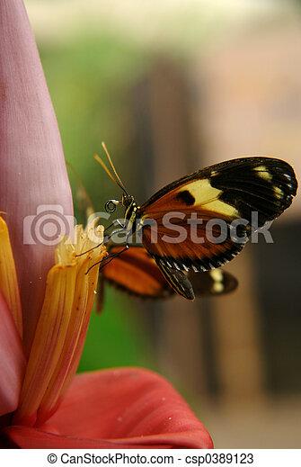 ecuadorian butterfly - csp0389123