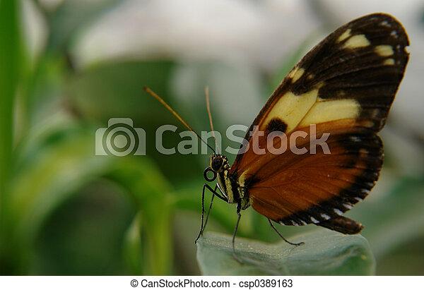 ecuadorian butterfly - csp0389163