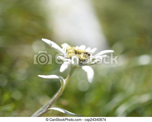 Edelweiss in nature. Rare alpine flower. - csp24340874