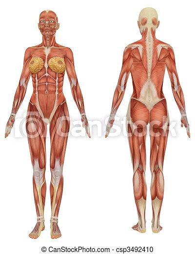 Educativo, muy, muscular, anatomía, hembra, frente, vista trasera.