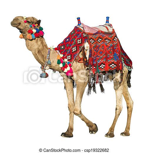 eenzaam, huiselijk, white., kameel - csp19322682