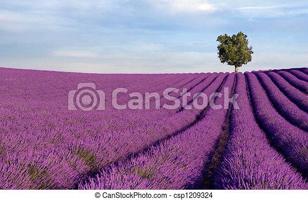 eenzame boom, lavendel, rijk, akker - csp1209324