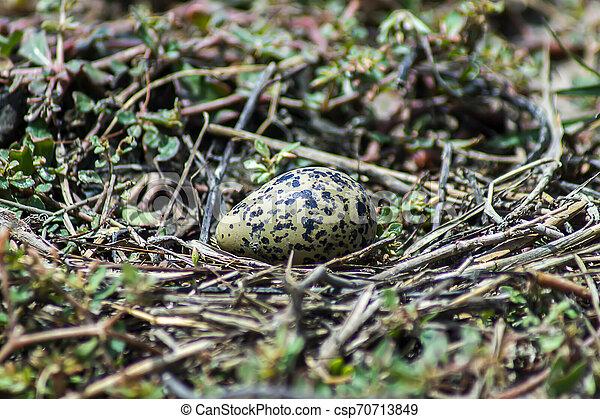 Egg of Oriental Pratincole bird on the ground. - csp70713849