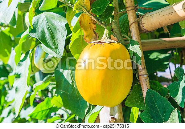 eggplants - csp25175315