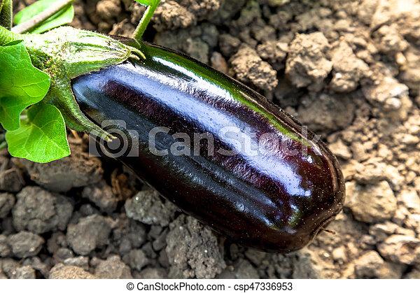 Eggplants - csp47336953