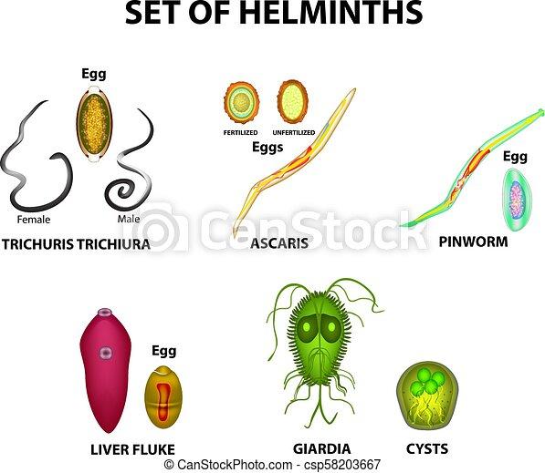 worms trematode)