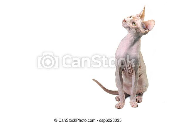 Egipcjanin łysy Kot Kot łysy Odizolowany Biały Egipcjanin