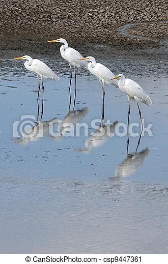 egret, fotografier, naturliv, -, liden - csp9447361