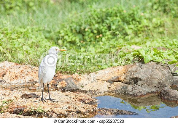 egret, nehmen, sri, -, rest, galle, asiatisch, klein, galle, weißes, fluß, lanka - csp55237520