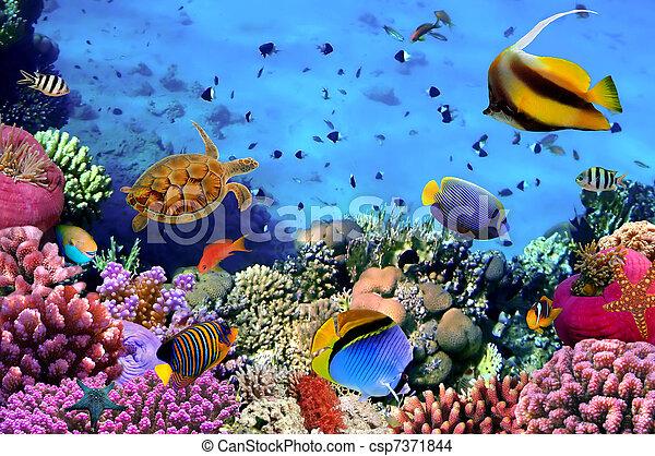 egypten, foto, korall, koloni, rev - csp7371844