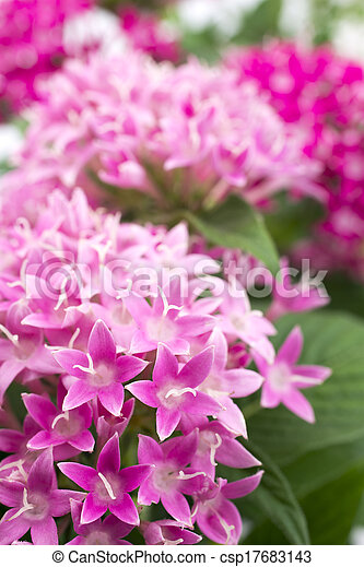 Egyptian Star Flower Pink Egyptian Star Flower In Vertical Position