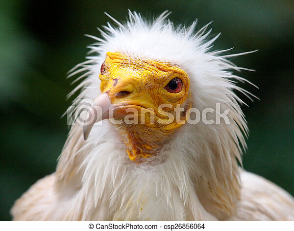 Egyptian Vulture - csp26856064
