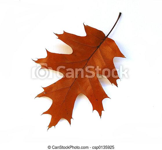 Fall Eichenblatt auf weißem Hintergrund - csp0135925