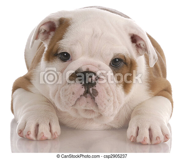 eight week old english bulldog puppy laying down on white background
