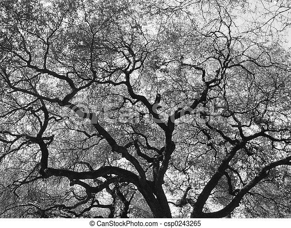 ek, gigant, träd - csp0243265