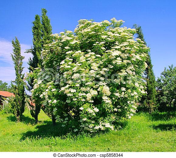 elder flower 35 - csp5858344