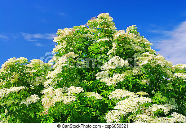elder flower 36 - csp6050321