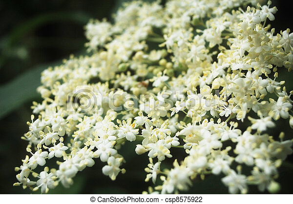 Elderberry Flowers Images