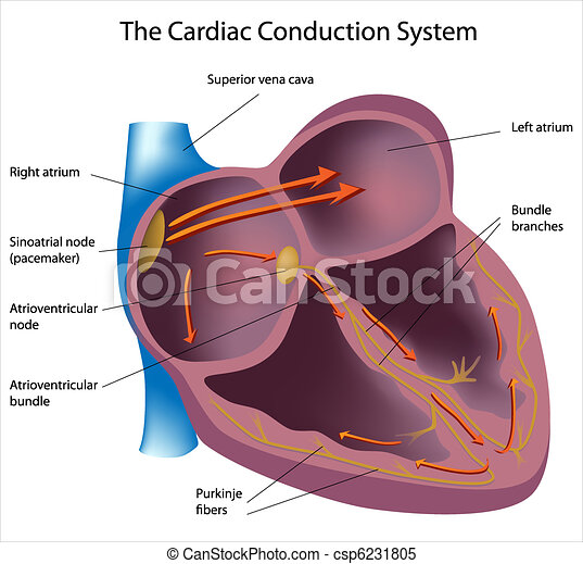 Electrical pathways of the heart - csp6231805