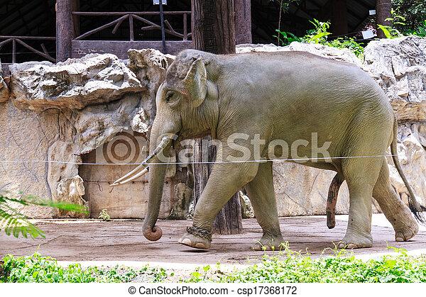 milyen nagy egy elefánt pénisz
